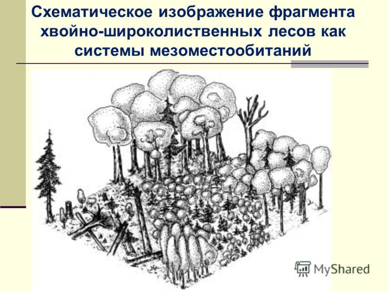 Схематическое изображение фрагмента хвойно-широколиственных лесов как системы мезоместообитаний