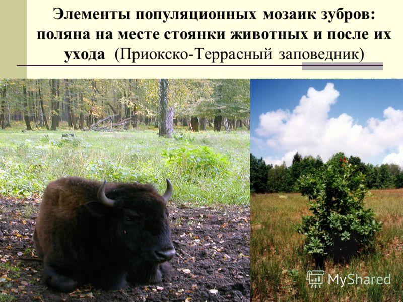 Элементы популяционных мозаик зубров: поляна на месте стоянки животных и после их ухода (Приокско-Террасный заповедник)