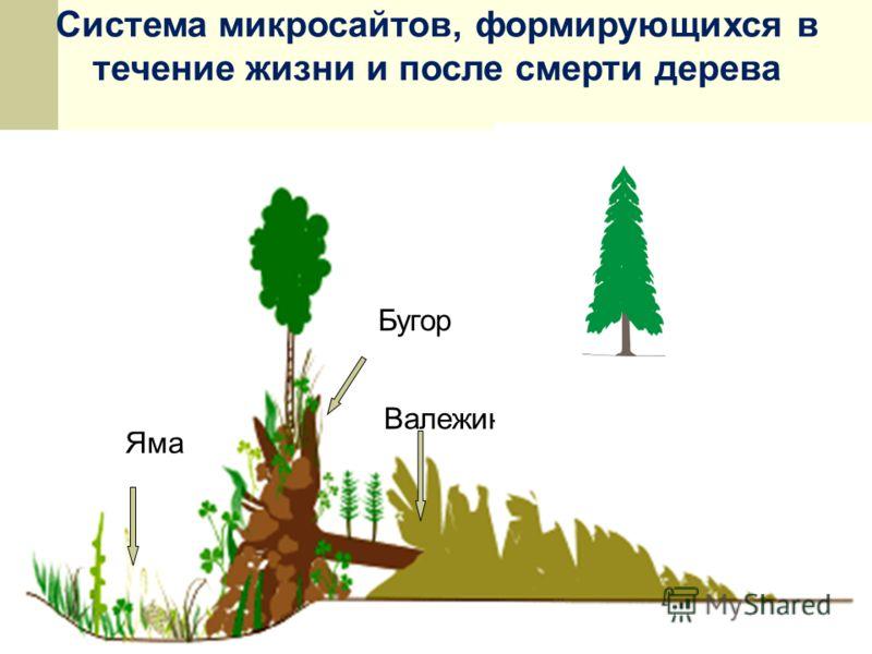 Система микросайтов, формирующихся в течение жизни и после смерти дерева Валежина Бугор Яма