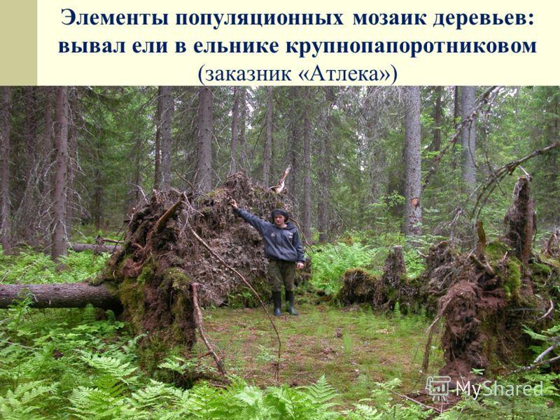 Элементы популяционных мозаик деревьев: вывал ели в ельнике крупнопапоротниковом (заказник «Атлека»)