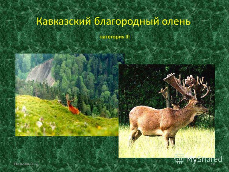 Кавказский благородный олень категория III Панова О.Л.10
