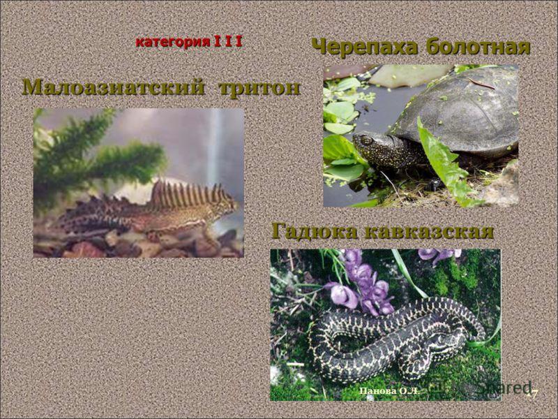 Черепаха болотная Малоазиатский тритон категория I I I Гадюка кавказская Панова О.Л. 17