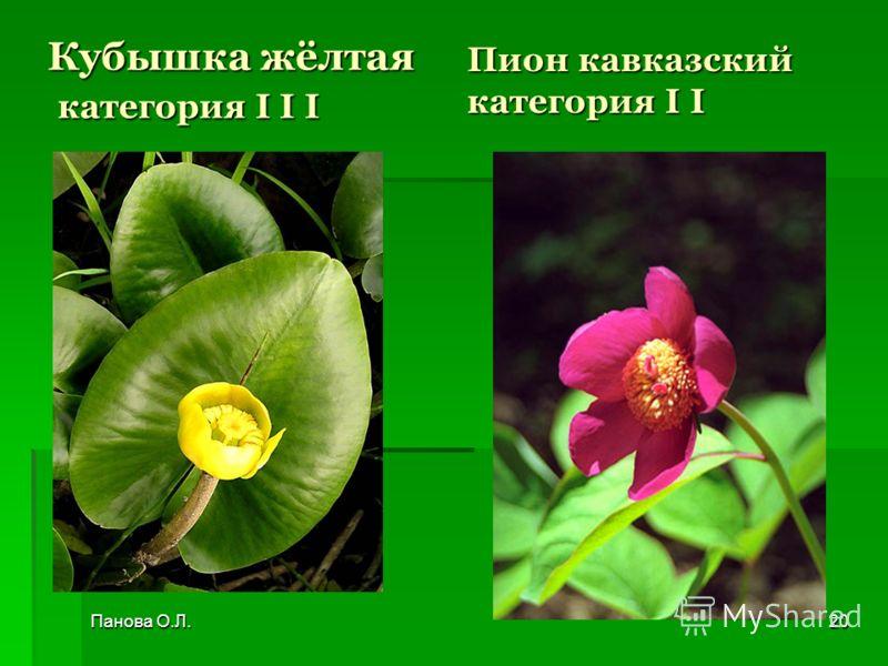 Кубышка жёлтая категория I I I Пион кавказский категория I I Панова О.Л.20