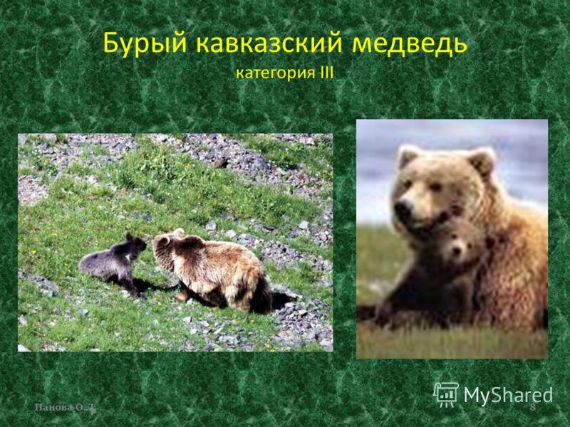 Бурый кавказский медведь категория III Панова О.Л.8