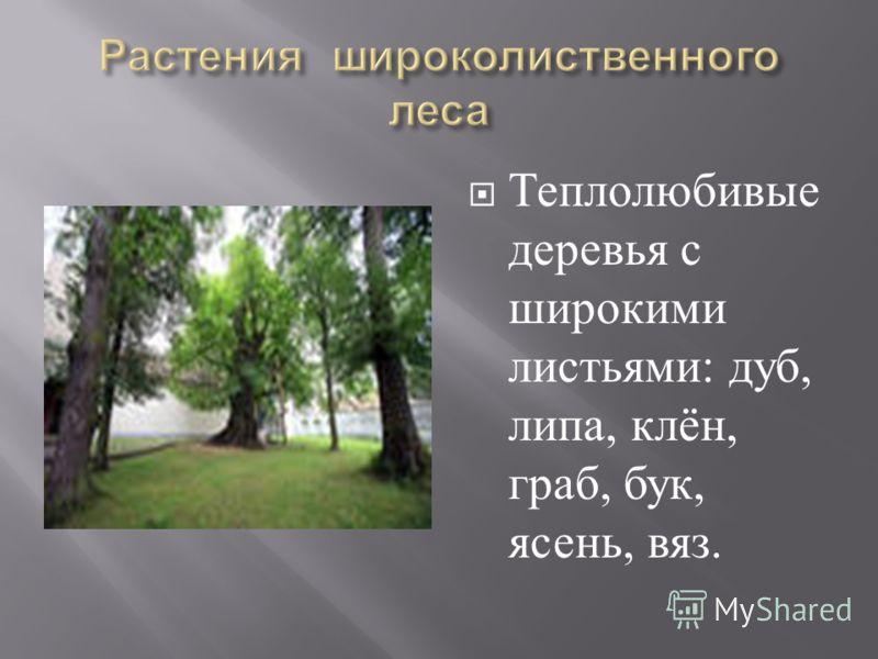 Теплолюбивые деревья с широкими листьями : дуб, липа, клён, граб, бук, ясень, вяз.