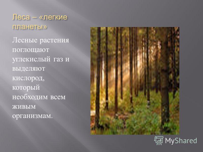 Леса – « легкие планеты » Лесные растения поглощают углекислый газ и выделяют кислород, который необходим всем живым организмам.