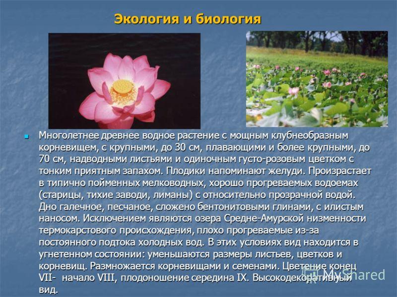 Экология и биология Многолетнее древнее водное растение с мощным клубнеобразным корневищем, с крупными, до 30 см, плавающими и более крупными, до 70 см, надводными листьями и одиночным густо-розовым цветком с тонким приятным запахом. Плодики напомин