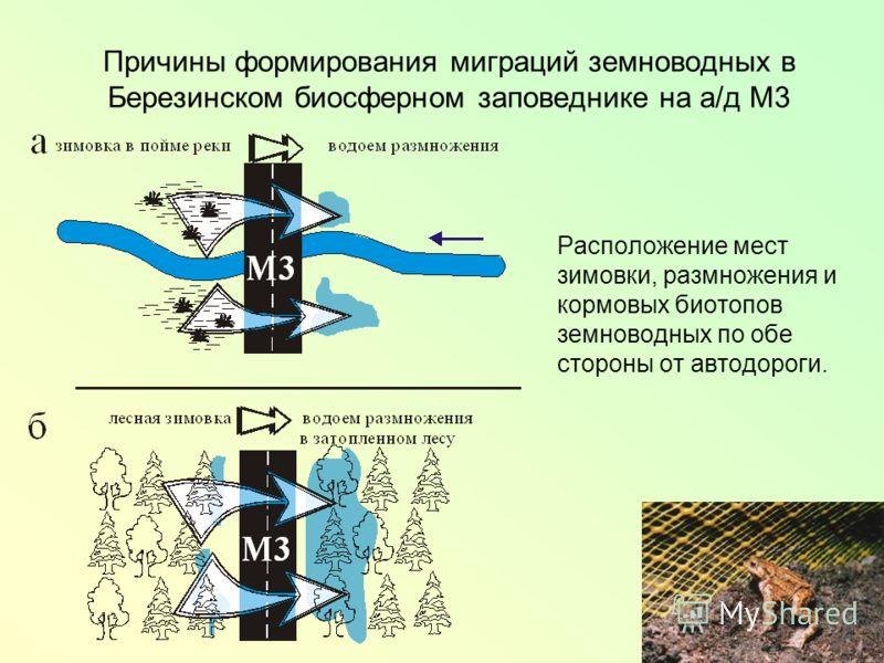Причины формирования миграций земноводных в Березинском биосферном заповеднике на а/д М3 Расположение мест зимовки, размножения и кормовых биотопов земноводных по обе стороны от автодороги.