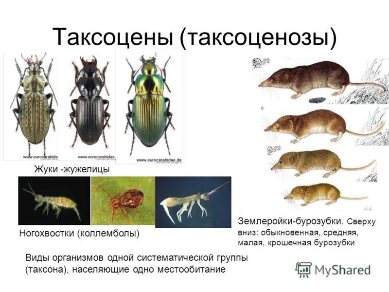Таксоцены (таксоценозы) Жуки -жужелицы Ногохвостки (коллемболы) Землеройки-бурозубки. Сверху вниз: обыкновенная, средняя, малая, крошечная бурозубки Виды организмов одной систематической группы (таксона), населяющие одно местообитание