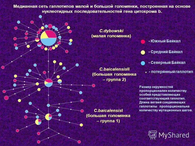Медианная сеть гаплотипов малой и большой голомянки, построенная на основе нуклеотидных последовательностей гена цитохрома b. Размер окружностей пропорционален количеству особей представляющих соответствующий гаплотип. Длина ветвей соединяющих гаплот