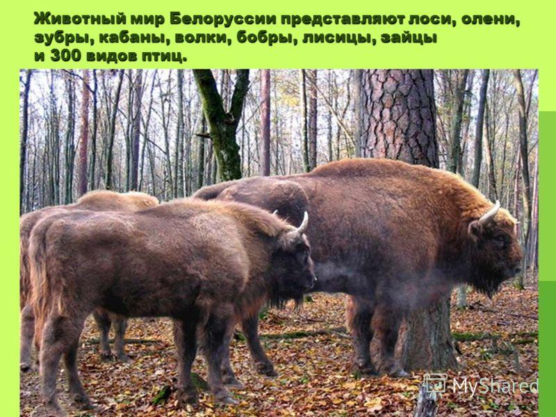 Животный мир Белоруссии представляют лоси, олени, зубры, кабаны, волки, бобры, лисицы, зайцы и 300 видов птиц.