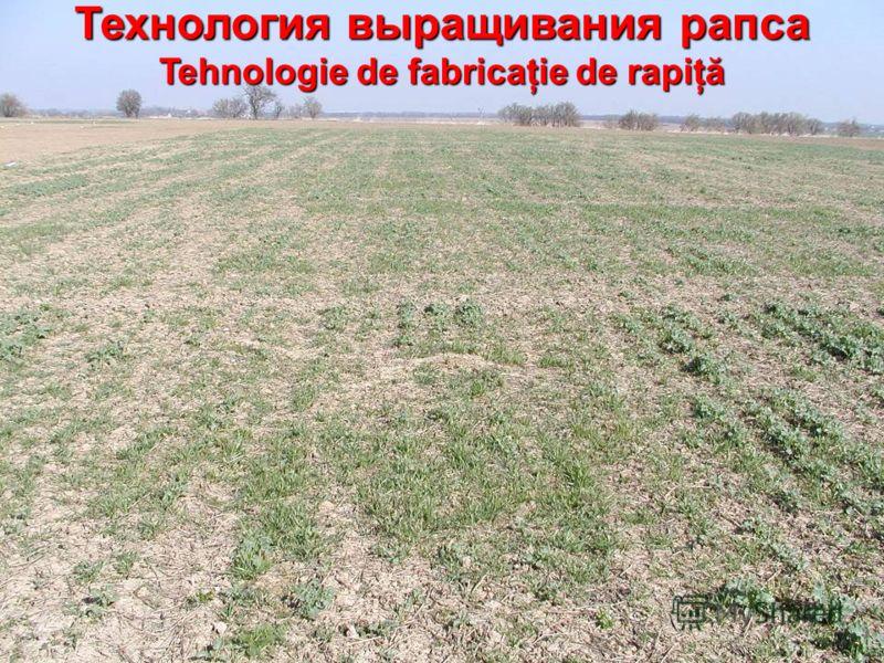 Технология выращивания рапса Tehnologie de fabricaţie de rapiţă