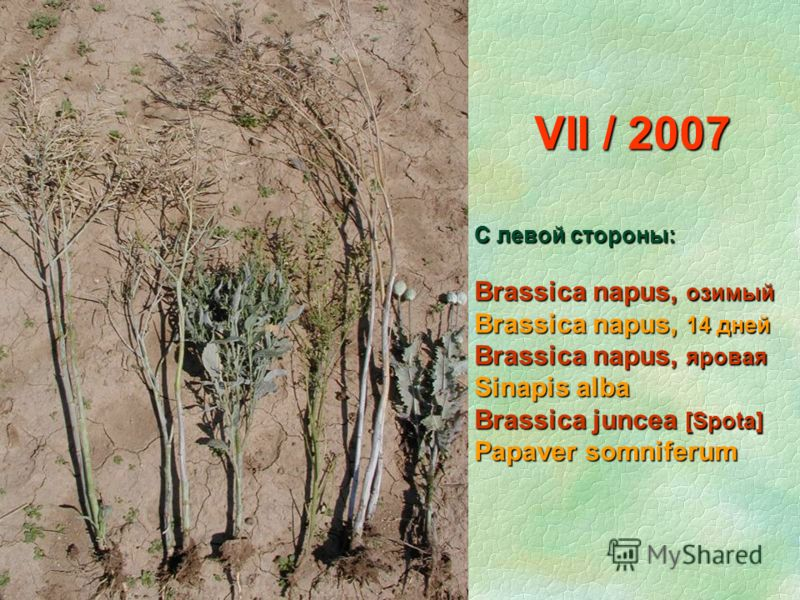 VII / 2007 С левой стороны: Brassica napus, озимый Brassica napus, 14 дней Brassica napus, яровая Sinapis alba Brassica juncea [Spota] Papaver somniferum