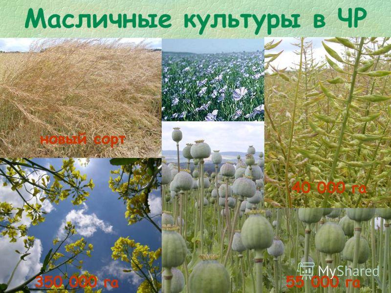 Масличные культуры в ЧР 350 000 га55 000 га 40 000 га новый сорт