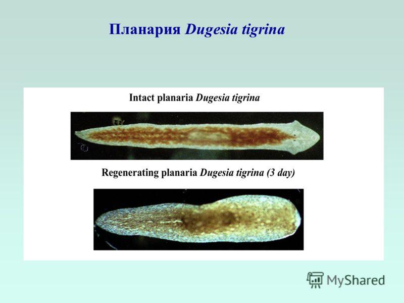 Планария Dugesia tigrina