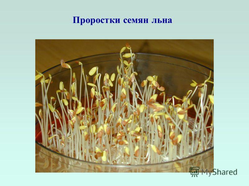 Проростки семян льна
