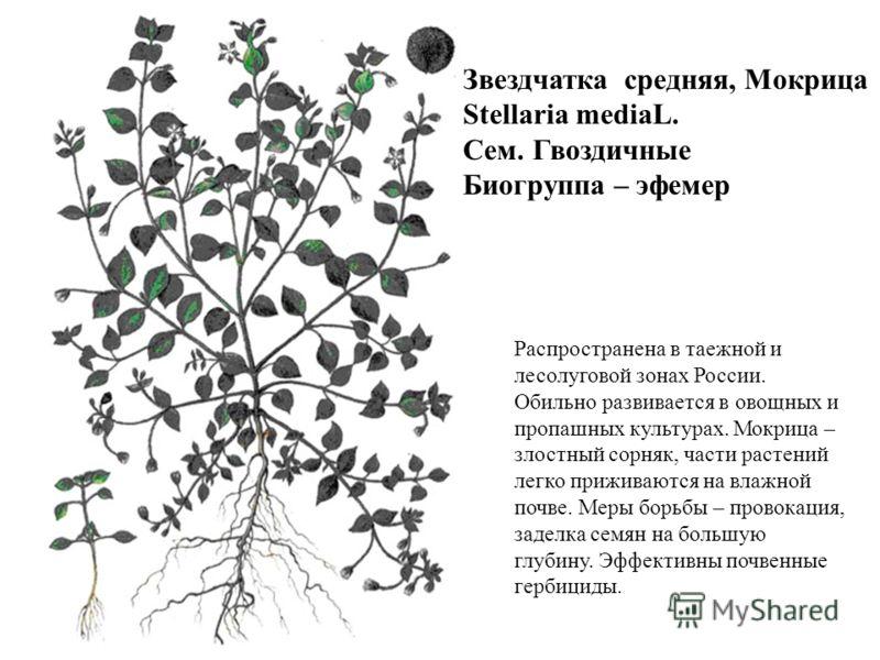Звездчатка средняя, Мокрица Stellaria mediaL. Сем. Гвоздичные Биогруппа – эфемер Распространена в таежной и лесолуговой зонах России. Обильно развивается в овощных и пропашных культурах. Мокрица – злостный сорняк, части растений легко приживаются на