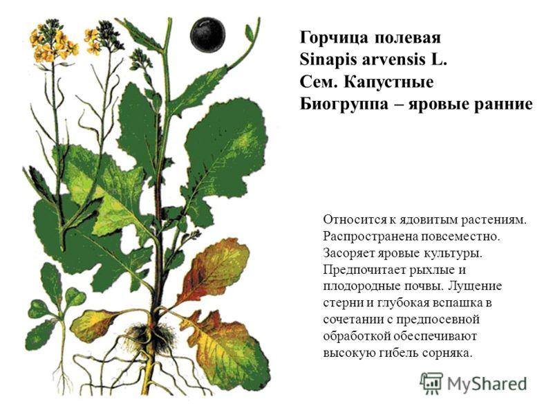 Горчица полевая Sinapis arvensis L. Сем. Капустные Биогруппа – яровые ранние Относится к ядовитым растениям. Распространена повсеместно. Засоряет яровые культуры. Предпочитает рыхлые и плодородные почвы. Лущение стерни и глубокая вспашка в сочетании