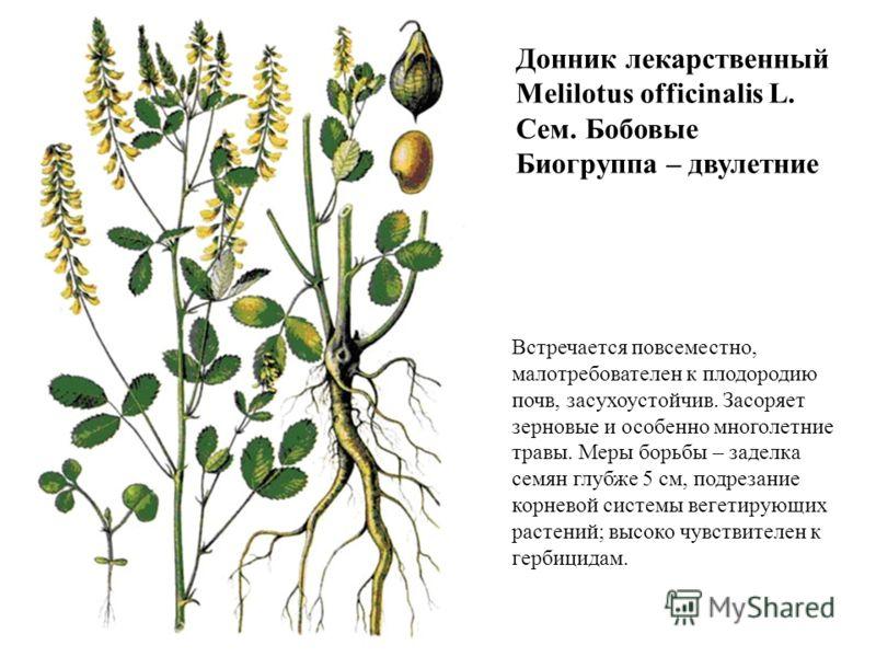Донник лекарственный Melilotus officinalis L. Сем. Бобовые Биогруппа – двулетние Встречается повсеместно, малотребователен к плодородию почв, засухоустойчив. Засоряет зерновые и особенно многолетние травы. Меры борьбы – заделка семян глубже 5 см, под