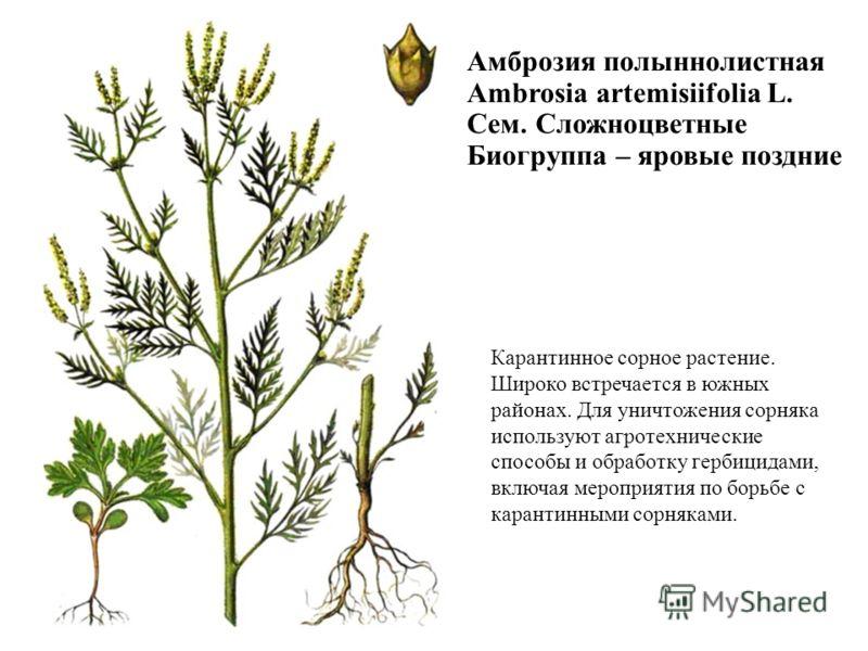 Карантинное сорное растение. Широко встречается в южных районах. Для уничтожения сорняка используют агротехнические способы и обработку гербицидами, включая мероприятия по борьбе с карантинными сорняками. Амброзия полыннолистная Ambrosia artemisiifol