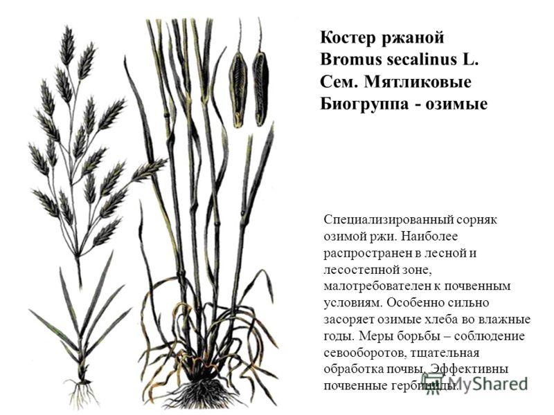 Костер ржаной Bromus secalinus L. Сем. Мятликовые Биогруппа - озимые Специализированный сорняк озимой ржи. Наиболее распространен в лесной и лесостепной зоне, малотребователен к почвенным условиям. Особенно сильно засоряет озимые хлеба во влажные год
