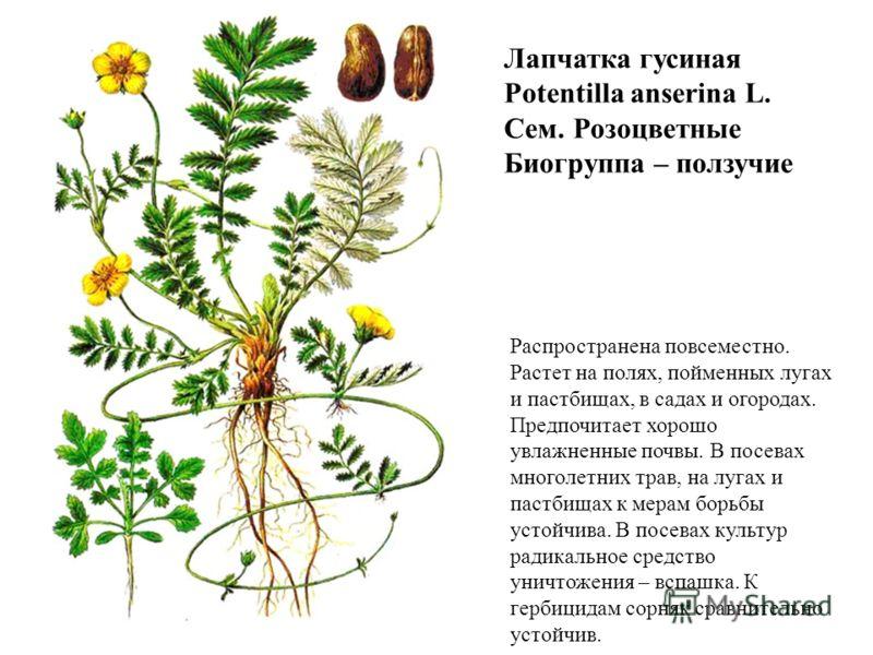 Лапчатка гусиная Potentilla anserina L. Сем. Розоцветные Биогруппа – ползучие Распространена повсеместно. Растет на полях, пойменных лугах и пастбищах, в садах и огородах. Предпочитает хорошо увлажненные почвы. В посевах многолетних трав, на лугах и