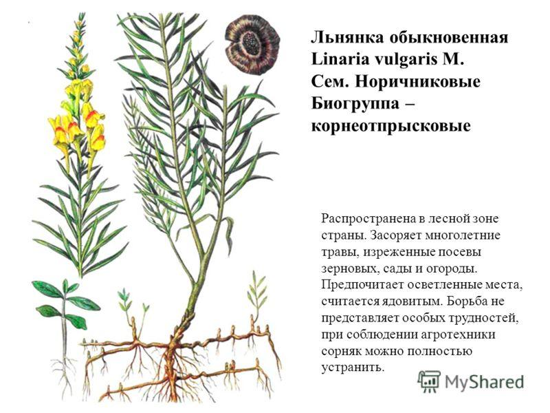 Льнянка обыкновенная Linaria vulgaris М. Сем. Норичниковые Биогруппа – корнеотпрысковые Распространена в лесной зоне страны. Засоряет многолетние травы, изреженные посевы зерновых, сады и огороды. Предпочитает осветленные места, считается ядовитым. Б