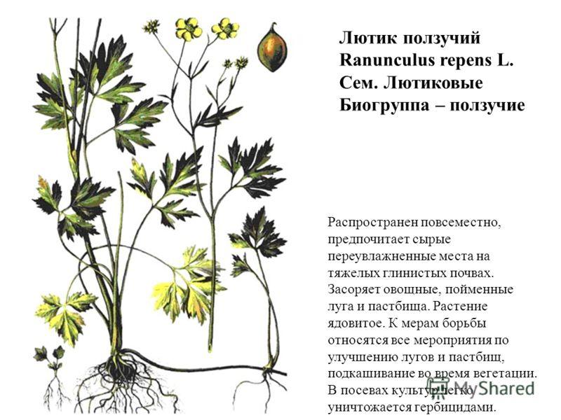 Лютик ползучий Ranunculus repens L. Сем. Лютиковые Биогруппа – ползучие Распространен повсеместно, предпочитает сырые переувлажненные места на тяжелых глинистых почвах. Засоряет овощные, пойменные луга и пастбища. Растение ядовитое. К мерам борьбы от