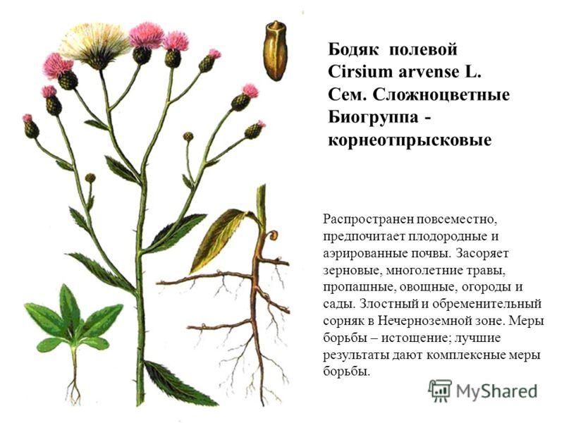 Распространен повсеместно, предпочитает плодородные и аэрированные почвы. Засоряет зерновые, многолетние травы, пропашные, овощные, огороды и сады. Злостный и обременительный сорняк в Нечерноземной зоне. Меры борьбы – истощение; лучшие результаты даю