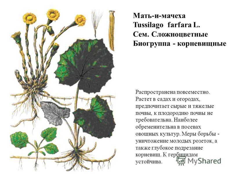Мать-и-мачеха Tussilago farfara L. Сем. Сложноцветные Биогруппа - корневищные Распространена повсеместно. Растет в садах и огородах, предпочитает сырые и тяжелые почвы, к плодородию почвы не требовательна. Наиболее обременительна в посевах овощных ку