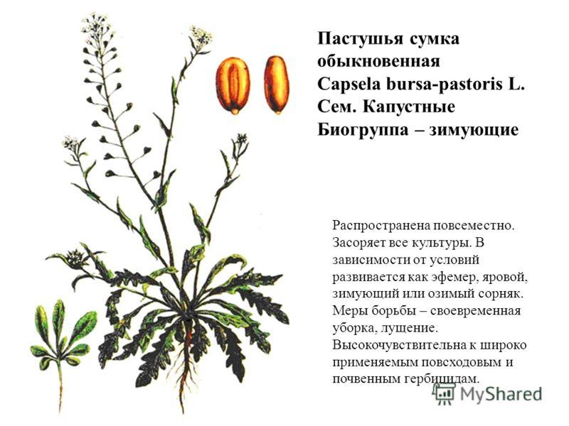 Пастушья сумка обыкновенная Capsela bursa-pastoris L. Сем. Капустные Биогруппа – зимующие Распространена повсеместно. Засоряет все культуры. В зависимости от условий развивается как эфемер, яровой, зимующий или озимый сорняк. Меры борьбы – своевремен