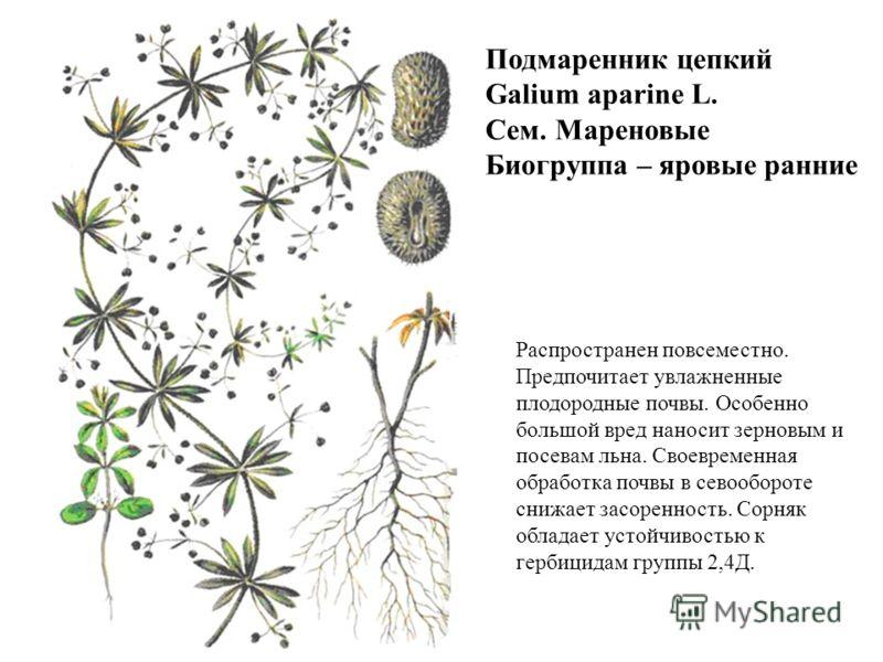 Подмаренник цепкий Galium aparine L. Сем. Мареновые Биогруппа – яровые ранние Распространен повсеместно. Предпочитает увлажненные плодородные почвы. Особенно большой вред наносит зерновым и посевам льна. Своевременная обработка почвы в севообороте сн