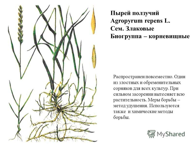 Пырей ползучий Agropyrum repens L. Сем. Злаковые Биогруппа – корневищные Распространен повсеместно. Один из злостных и обременительных сорняков для всех культур. При сильном засорении вытесняет всю растительность. Меры борьбы – метод удушения. Исполь