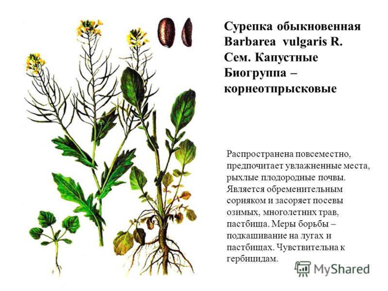 Сурепка обыкновенная Barbarea vulgaris R. Сем. Капустные Биогруппа – корнеотпрысковые Распространена повсеместно, предпочитает увлажненные места, рыхлые плодородные почвы. Является обременительным сорняком и засоряет посевы озимых, многолетних трав,