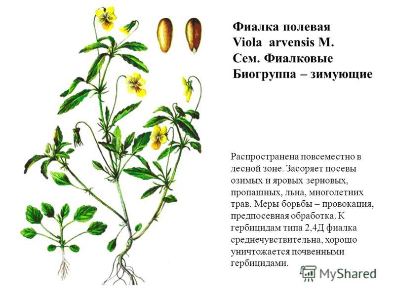 Фиалка полевая Viola arvensis M. Сем. Фиалковые Биогруппа – зимующие Распространена повсеместно в лесной зоне. Засоряет посевы озимых и яровых зерновых, пропашных, льна, многолетних трав. Меры борьбы – провокация, предпосевная обработка. К гербицидам