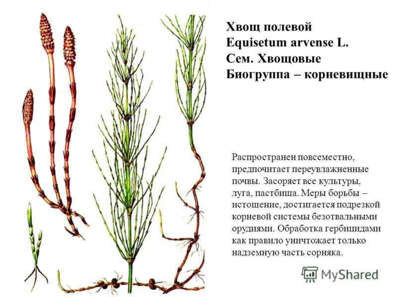 Хвощ полевой Equisetum arvense L. Сем. Хвощовые Биогруппа – корневищные Распространен повсеместно, предпочитает переувлажненные почвы. Засоряет все культуры, луга, пастбища. Меры борьбы – истощение, достигается подрезкой корневой системы безотвальным
