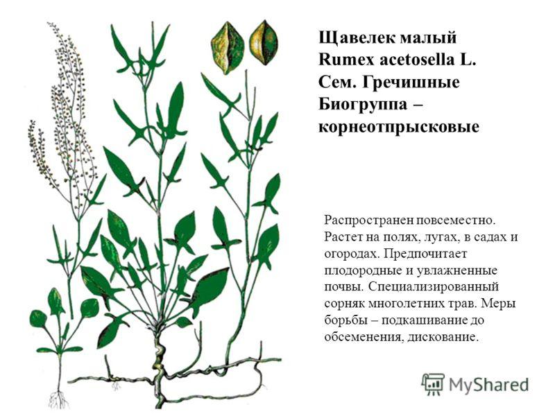 Щавелек малый Rumex acetosella L. Сем. Гречишные Биогруппа – корнеотпрысковые Распространен повсеместно. Растет на полях, лугах, в садах и огородах. Предпочитает плодородные и увлажненные почвы. Специализированный сорняк многолетних трав. Меры борьбы