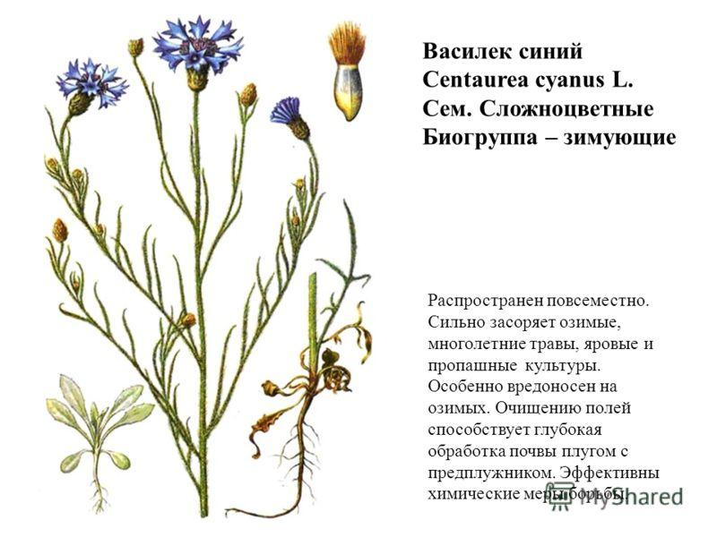 Василек синий Centaurea cyanus L. Сем. Сложноцветные Биогруппа – зимующие Распространен повсеместно. Сильно засоряет озимые, многолетние травы, яровые и пропашные культуры. Особенно вредоносен на озимых. Очищению полей способствует глубокая обработка