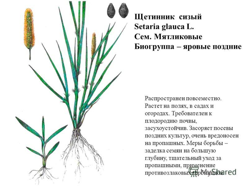 Щетинник сизый Setaria glauca L. Сем. Мятликовые Биогруппа – яровые поздние Распространен повсеместно. Растет на полях, в садах и огородах. Требователен к плодородию почвы, засухоустойчив. Засоряет посевы поздних культур, очень вредоносен на пропашны