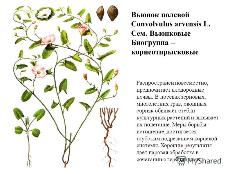 Вьюнок полевой Convolvulus arvensis L. Сем. Вьюнковые Биогруппа – корнеотпрысковые Распространен повсеместно, предпочитает плодородные почвы. В посевах зерновых, многолетних трав, овощных сорняк обвивает стебли культурных растений и вызывает их полег