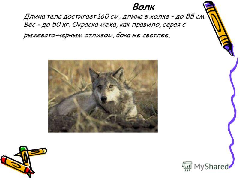 Волк Длина тела достигает 160 см, длина в холке - до 85 см. Вес - до 50 кг. Окраска меха, как правило, серая с рыжевато-черным отливом, бока же светлее.