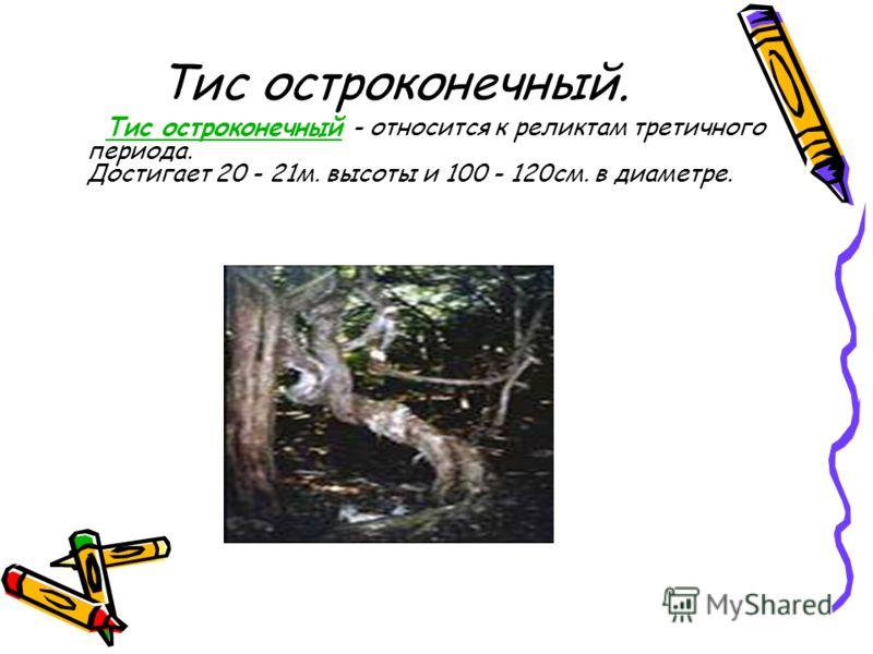 Тис остроконечный. Тис остроконечный - относится к реликтам третичного периода. Достигает 20 - 21м. высоты и 100 - 120см. в диаметре.