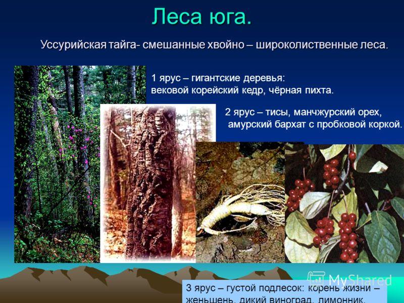 Леса юга. Уссурийская тайга- смешанные хвойно – широколиственные леса. 1 ярус – гигантские деревья: вековой корейский кедр, чёрная пихта. 2 ярус – тисы, манчжурский орех, амурский бархат с пробковой коркой. 3 ярус – густой подлесок: корень жизни – же