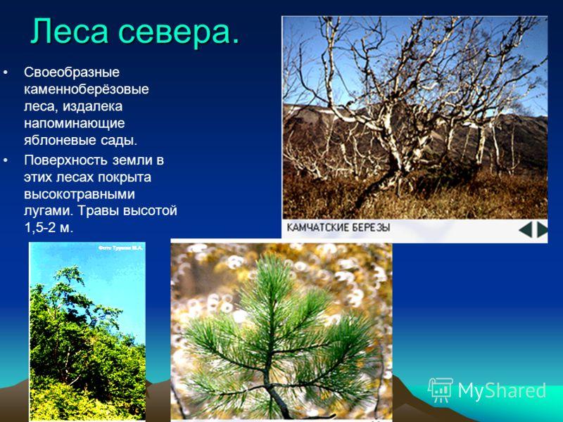Леса севера. Своеобразные каменноберёзовые леса, издалека напоминающие яблоневые сады. Поверхность земли в этих лесах покрыта высокотравными лугами. Травы высотой 1,5-2 м.