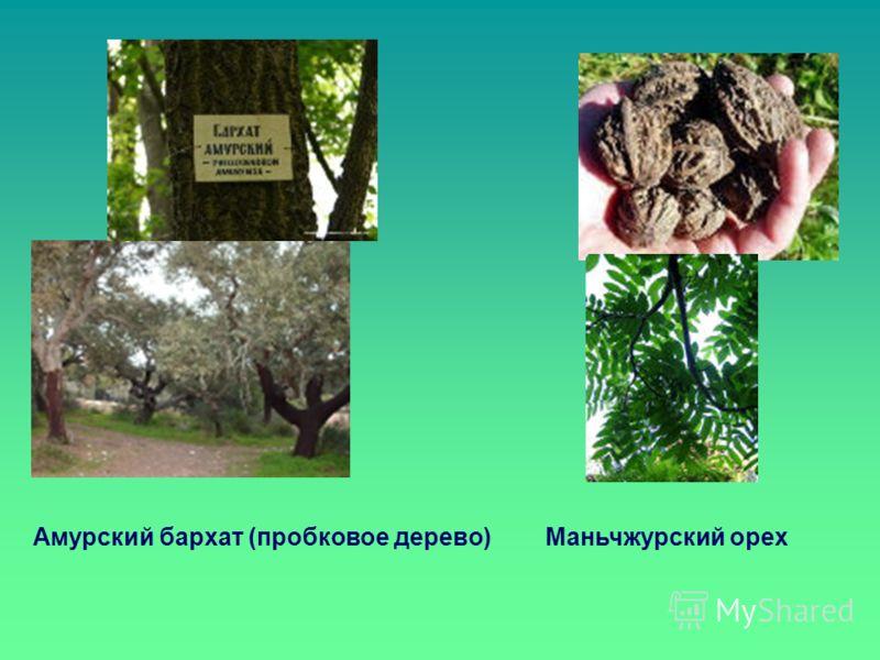 Амурский бархат (пробковое дерево)Маньчжурский орех