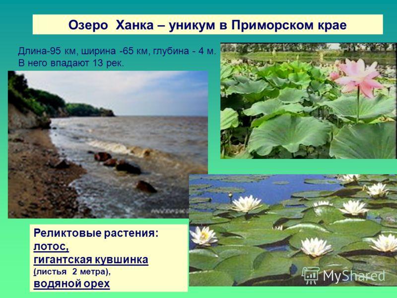 Озеро Ханка – уникум в Приморском крае Реликтовые растения: лотос, гигантская кувшинка (листья 2 метра), водяной орех Длина-95 км, ширина -65 км, глубина - 4 м. В него впадают 13 рек.
