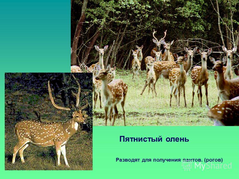Пятнистый олень Разводят для получения пантов. (рогов)