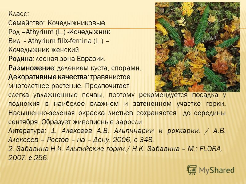 Класс: Семейство: Кочедыжниковые Род –Athyrium (L.) -Кочедыжник Вид - Athyrium filix-femina (L.) – Кочедыжник женский Родина: лесная зона Евразии. Размножение: делением куста, спорами. Декоративные качества: травянистое многолетнее растение. Предпочи