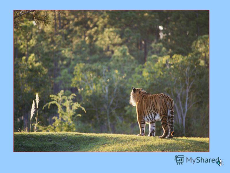 Тигр и человек Тигр и человек Правила поведения в местах обитания тигра. Правила поведения в местах обитания тигра. Столкновения с самкой, имеющей котят опасности не представляет. Столкновения с самкой, имеющей котят опасности не представляет. Аналог