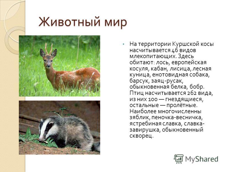 Животный мир На территории Куршской косы насчитывается 46 видов млекопитающих. Здесь обитают : лось, европейская косуля, кабан, лисица, лесная куница, енотовидная собака, барсук, заяц - русак, обыкновенная белка, бобр. Птиц насчитывается 262 вида, из